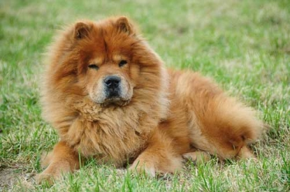 Un cane che assomiglia ad un leone, il Chow Chow
