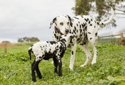 Il Dalmata: manto maculato ed occhi vispi